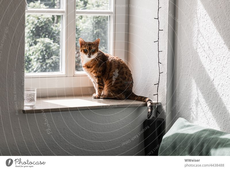 A small Bengal cat on her favourite place at the window of the old apartment Cat Window Window board room Flat (apartment) inside Light peep out eye contact