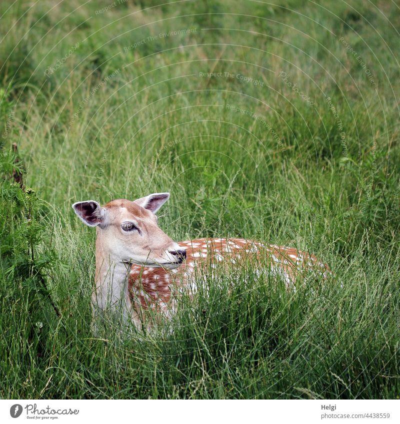 female velvet lies in the high grass and observes the surroundings Velvet Fallow deer Fallow deer enclosure Meadow Grass feminine Lie look tranquillity Rest