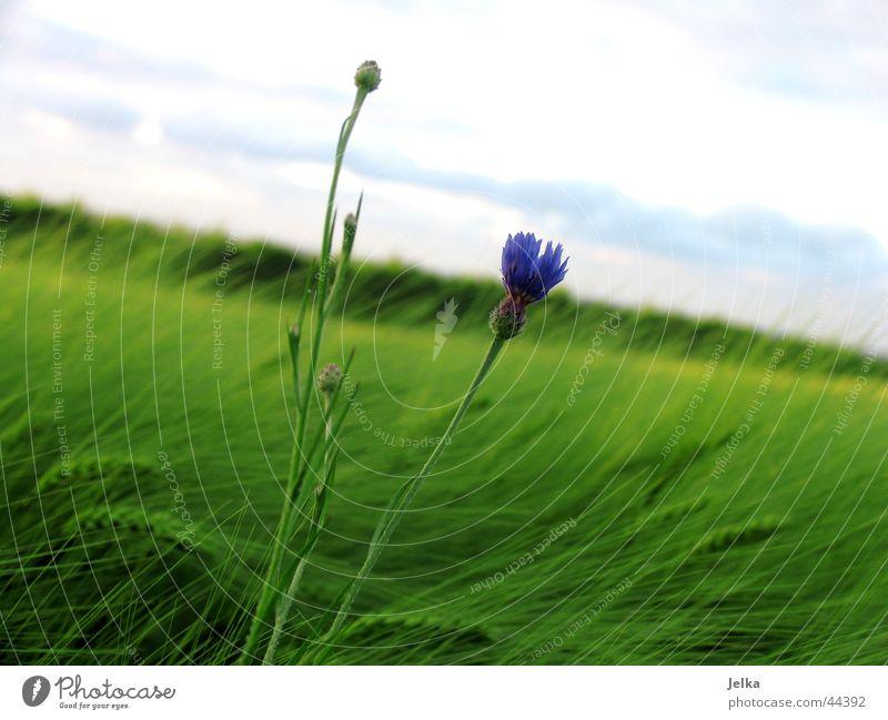 A little flower in the cornfield... Agriculture Forestry Nature Plant Horizon Summer Wind Flower Cornflower Grain Grain field Field Margin of a field Blue Green