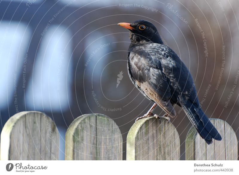in the morning Animal Wild animal Bird Wing Blackbird Songbirds 1 Wood Fence Feather Beak Observe Sit Orange Colour photo Exterior shot Copy Space left Morning