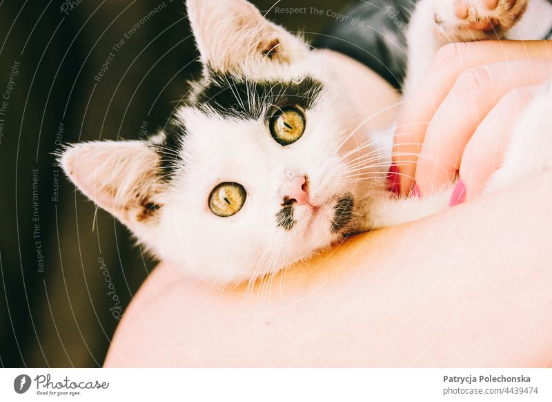 Portrait of a black and white kitten held by female hands Cat Kitten holding petting portrait closeup Cute Animal Pet