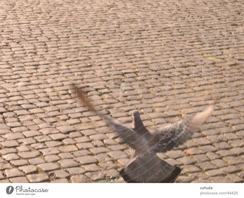 City Street Movement Bird Transport Cobblestones Pigeon