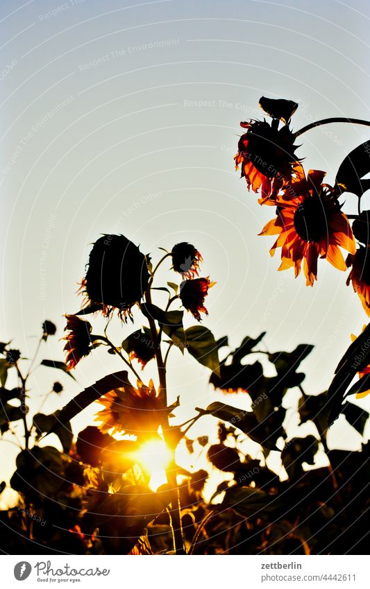 Sunflowers in front of evening sun Evening Branch Tree Dark Twilight Relaxation holidays Garden Sky allotment Garden allotments Deserted Nature Plant