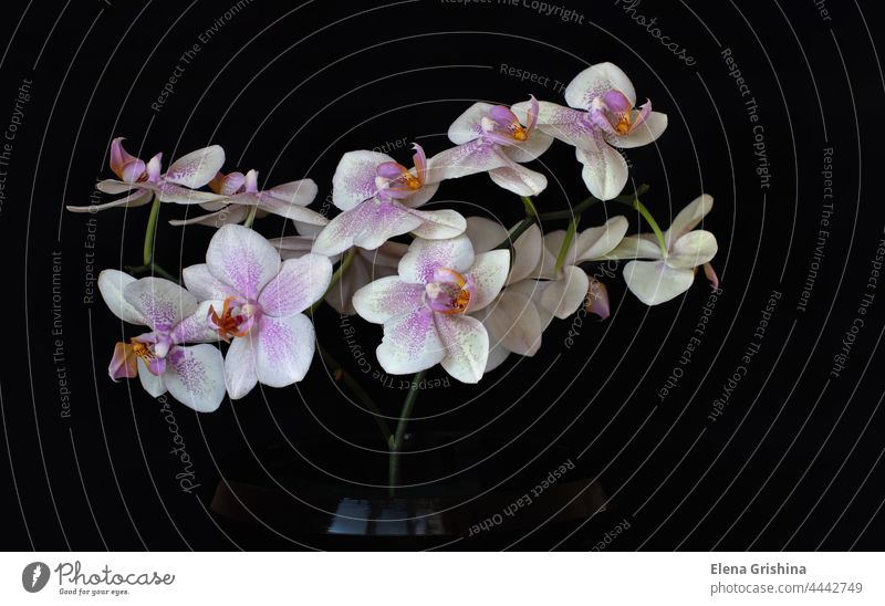 White blooming orchid phalaenopsis flower on a black background. Close up. isolated nature flora branch elegance color white floral blossom petal home plant