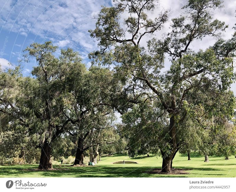 Kings park Perth Western Australia Tree Tree bark old tree Nature green Exterior shot Plant Tree trunk Green Spring Branch Treetop Environment Leaf green Old