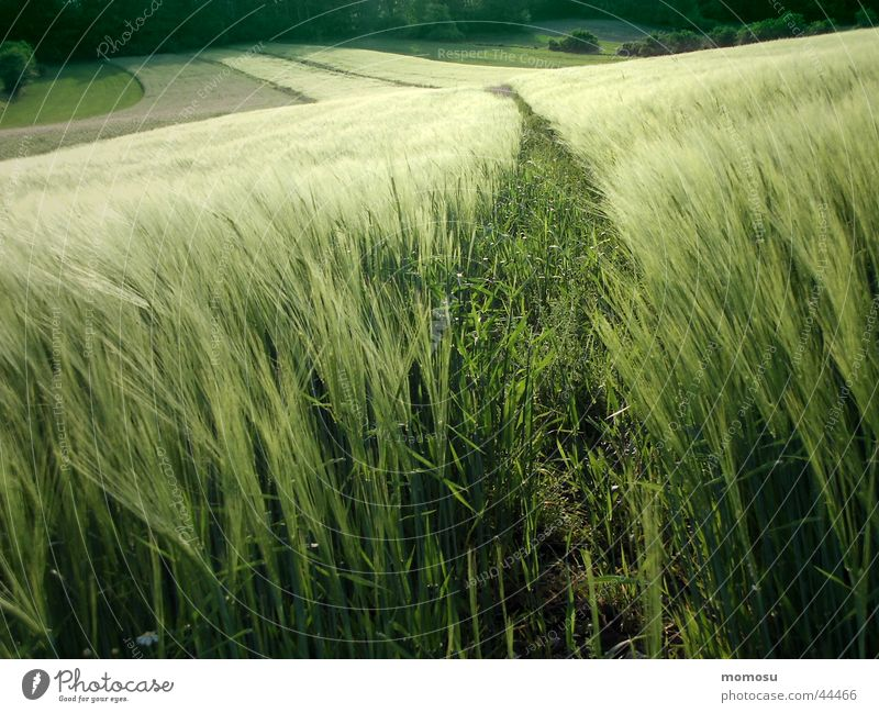 Green Field Grain Americas Grain Wheat Evening sun