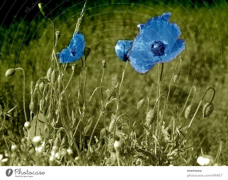 Blue Meadow Blossom Poppy