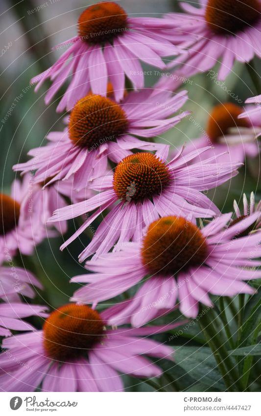 Purple sun hat Purple coneflower flowers red coneflower composite Hedgehog Head