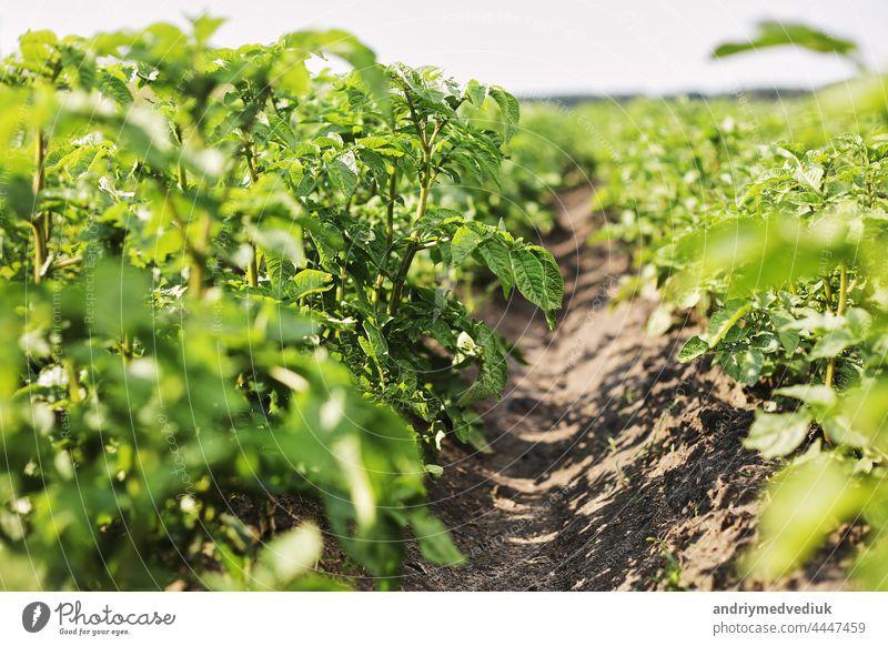 Young potato plant growing on the soil.Potato bush in the garden.Healthy young potato plant in organic garden. Organic farming. Field of green potato bushes. selective focus. cope space