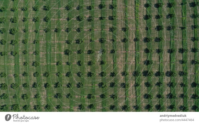Aerial drone top view of rows of the green fruit trees plantation. Cultivated field landscape europe spain landscapes beautiful lines mosaic pattern natural