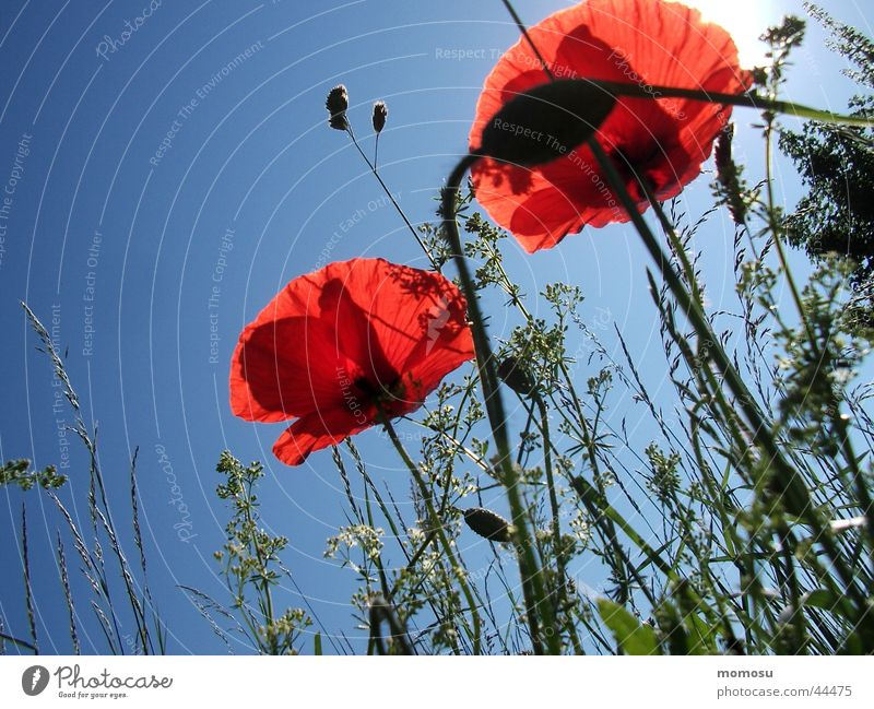 Sky Flower Meadow Blossom Grass Poppy