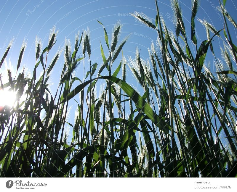 cereal shine Ear of corn Field Agriculture Grain Sky
