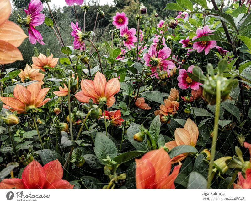 Orange and Pink flowers in garden Flowers blossom Blossoming blossoming flowers natural light daylight spring flowers come into bloom Spring spring feeling