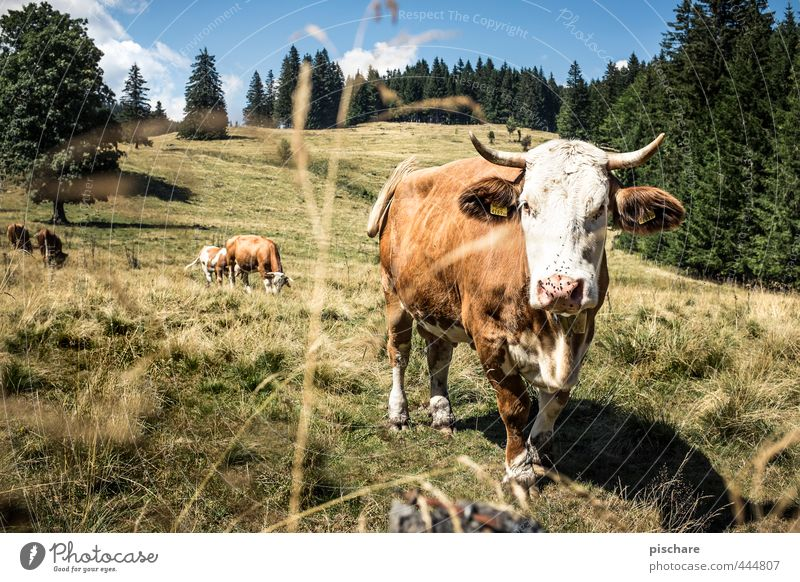 You cow! Summer Mountain Animal Farm animal Cow 3 Herd Observe Natural Nature Alpine pasture Austria Colour photo Exterior shot Day Sunlight Animal portrait