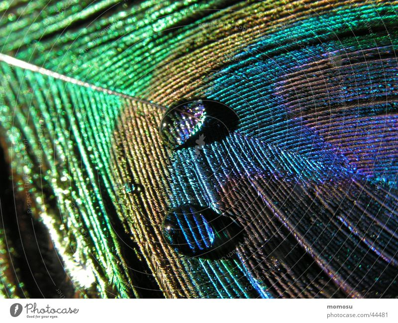 Drops of water Feather Bird Peacock Peacock feather
