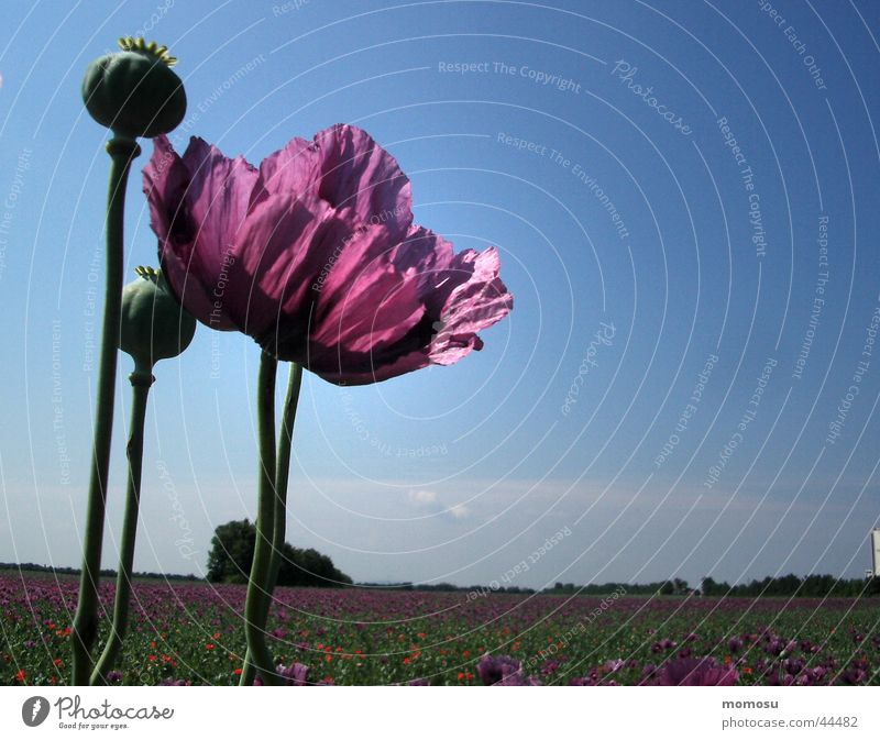 high up Poppy Violet Field Poppy field Blossom Leaf Sky