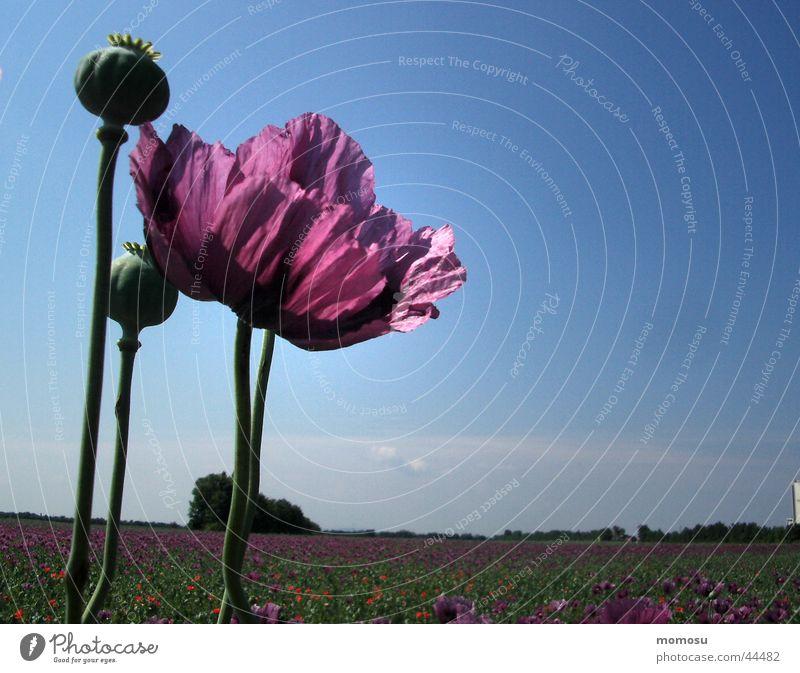 Sky Leaf Blossom Field Violet Poppy Poppy field