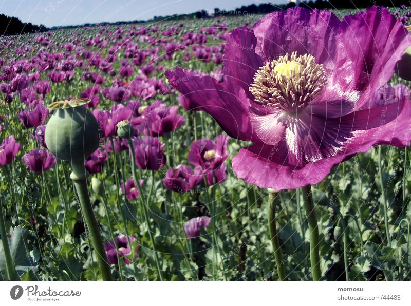 lots of poppies Poppy Flower Blossom Violet Field Seed Agriculture
