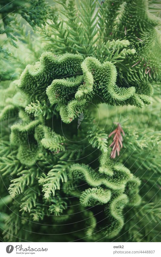 Coral Spruce Coniferous trees Twigs and branches Thorny Nature Green needles Tree Many detail Colour photo Plant Environment Branch Growth Fine Small Contrast
