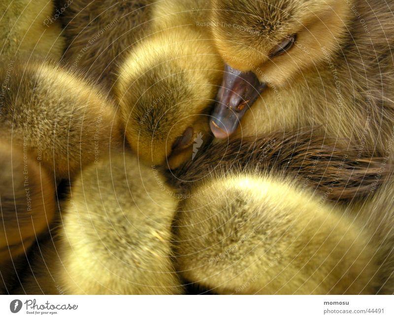 Yellow Feather Duck Bird