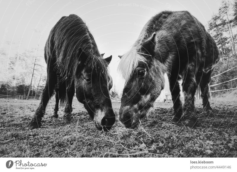 Two horses on a farm grazing as a symbol for togetherness and love nature eye animal grass mammal eat austria outdoor field beautiful pasture meadow rural two