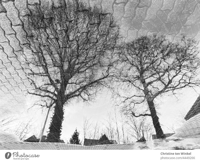 Two bare oaks reflected in a large puddle in a paved parking lot Puddle reflection puddle mirroring trees bare trees streetlamp house roofs Paving stone paving