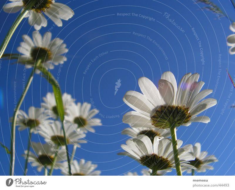 Sky Flower Blue Blossom