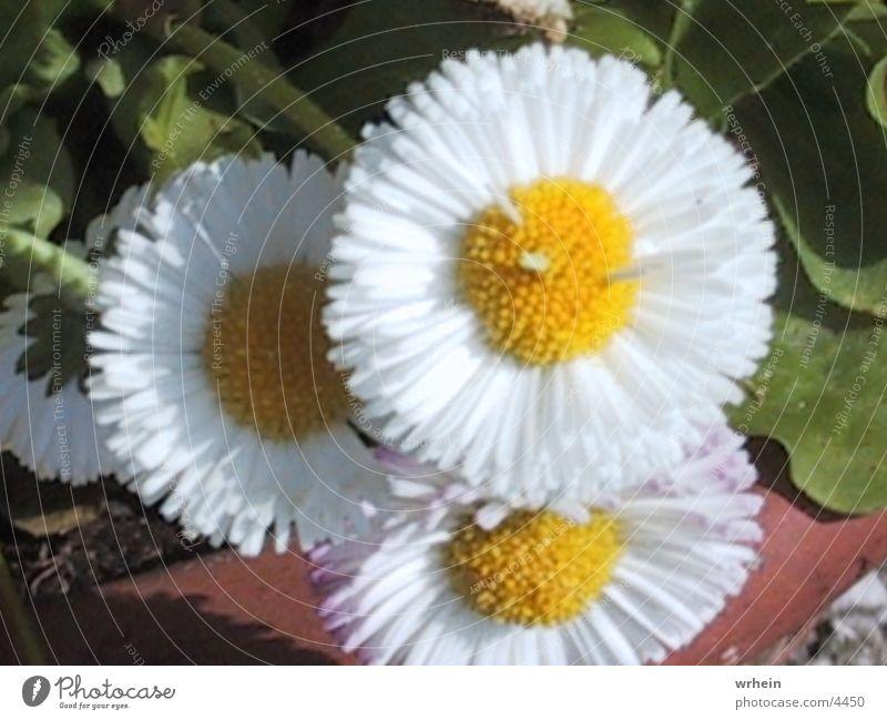 bluemli Flower
