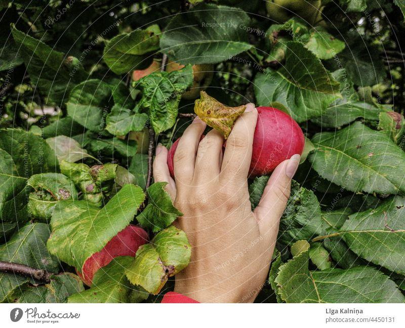 Hand picking an apple Apple Apple tree Apple harvest Fruit Harvest Food Delicious Organic produce Healthy Eating Red Vegetarian diet Juicy Fresh Nutrition Diet