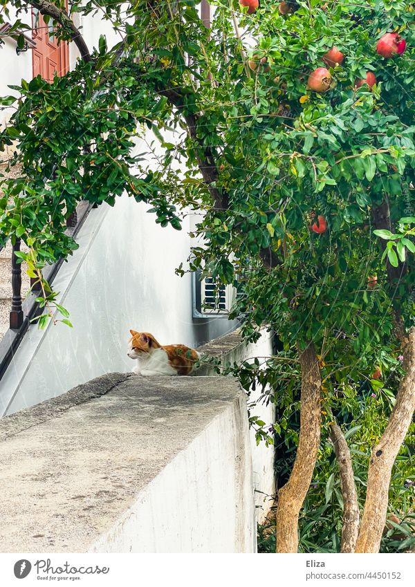 A cat sits on a wall under a pomegranate tree Pomegranates Pomegranate tree Cat Mauet Mediterranean Tree Wall (barrier) House (Residential Structure) Idyll