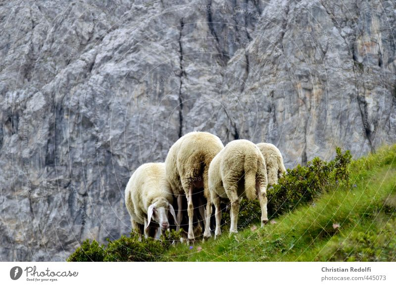 on the mountain pasture Sheep Alpine pasture Hiking Animal Mountain Mountaineering Milk Meadow Wool Almabtrieb Mountain farmer Rock Wall of rock To feed food