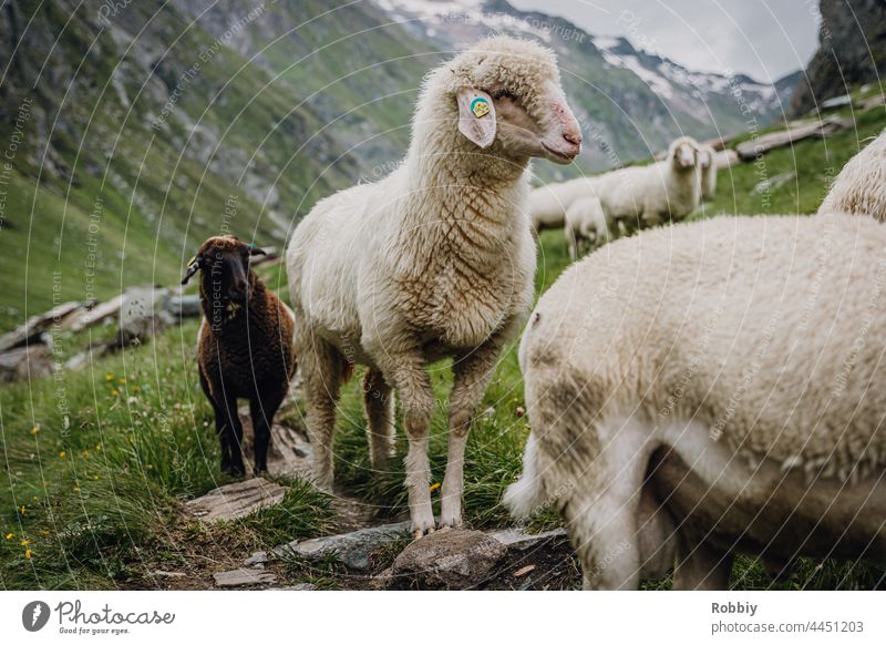 Sheep in the Umbaltal in East Tyrol Alps Eastern Tyrol Hiking Peak vacation mountain Austria hike outlook vantage point Horizon panorama Vacation & Travel