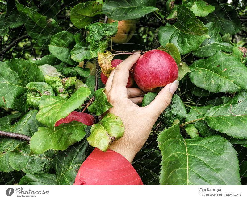Hand picking an Apple Healthy Apple tree Fruit Tree Apple harvest Organic produce Vegetarian diet Garden Healthy Eating Harvest Fresh Food Nutrition Delicious
