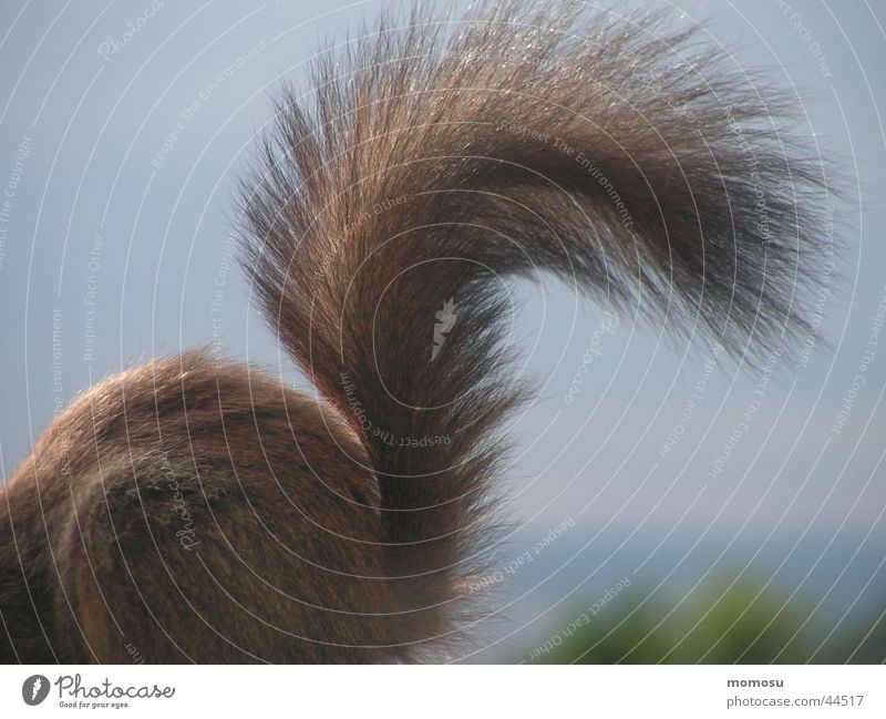tail high Squirrel Tails Pelt