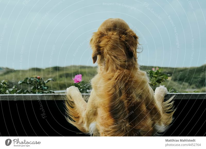 Golden Retriever looking from the balcony Dog Pelt outlook Animal Pet Colour photo Animal portrait Exterior shot Nature Day Deserted Love of animals Brown