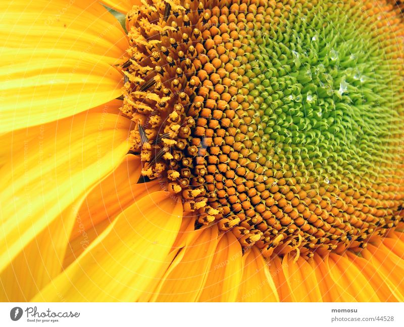 Sun Flower Yellow Blossom Circle Middle Sunflower Seed