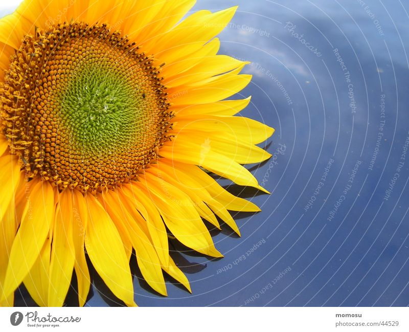 endowed Sunflower Blossom Leaf Yellow Car roof Summer Blue Sky Detail