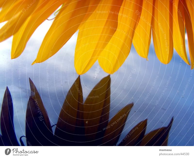 tenderness Sunflower Leaf Light Yellow Car roof Detail Macro (Extreme close-up) Blue Sky