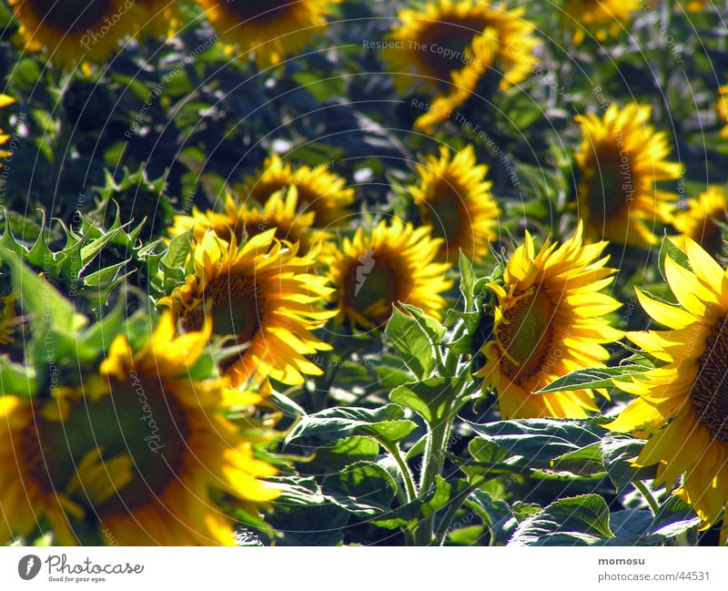 in the sunny field Field Sunflower Flower Blossom Green Yellow Agriculture Harvest