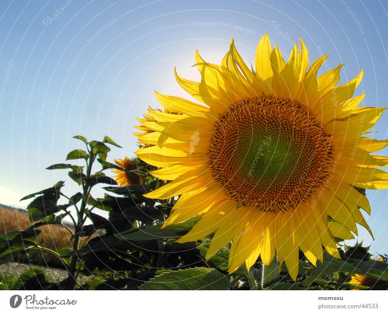 against the sun Sunflower Blossom Flower Field Sky