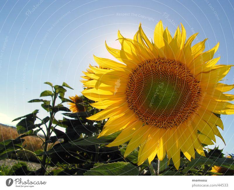 against the sun Sunflower Blossom Flower Field Sky
