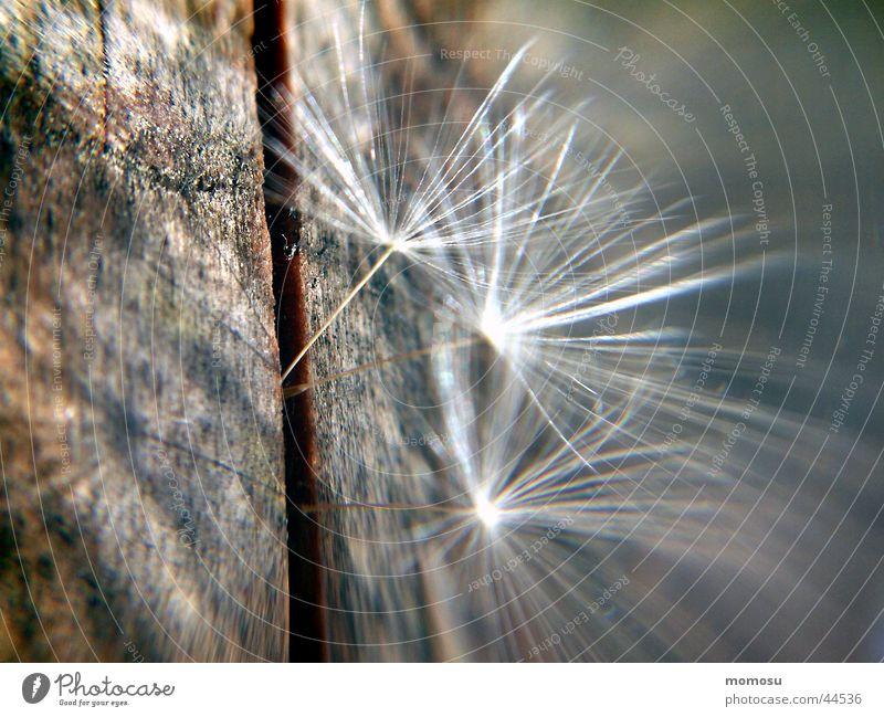 flighty Dandelion Light Wood Delicate Propagation Seed Shadow