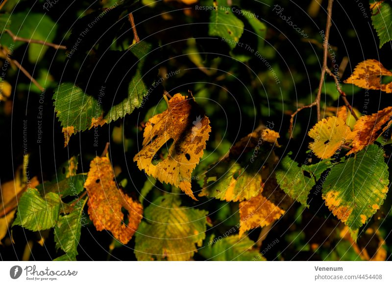 Beginning of autumn, the first leaves in the forest are colored colorful Forest tree forests trees leaf nature season Germany meteorological leaf fall