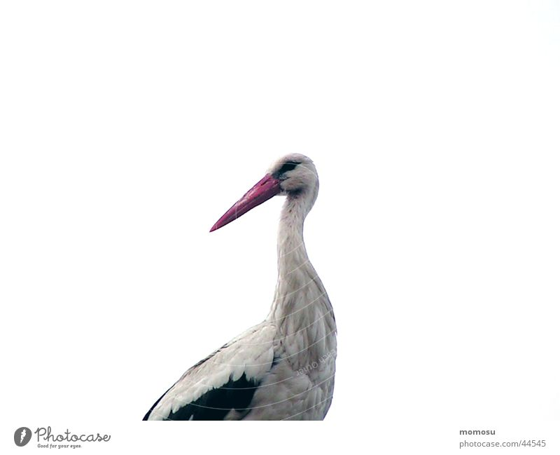 stork with rattle Stork Migratory bird Eyrie Federal State of Burgenland Birth