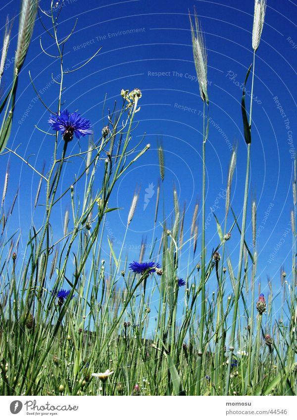Sky Flower Green Blue Meadow Field Grain Grain Cornflower