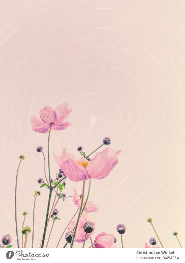 The pink flowers of the autumn anemone look painted against the pale pink background Chinese Anemone Anemone hupehensis Autumn Anemone blurriness Blossoming