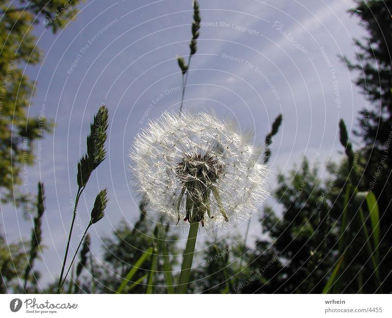 dandelion Flower Dandelion