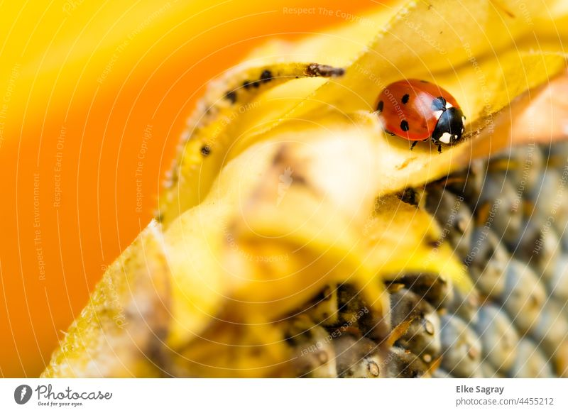 Ladybird seeks winter quarters ... Beetle Insect Macro (Extreme close-up) Nature Animal Red Close-up Autumn Crawl Sunflower Plant Shallow depth of field