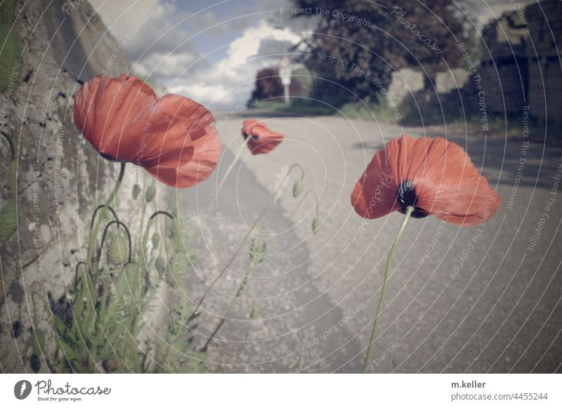 Poppies grow by the roadside Street Gray Summer Red Poppy