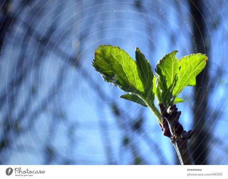 Sky Green Blue Leaf Spring Beginning Twig Bud Shoot Wake up New start